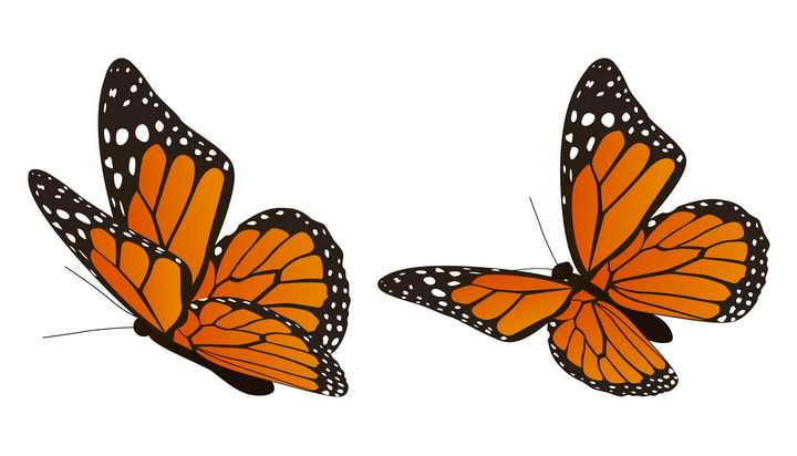 两只翩翩起舞的橙色黑色蝴蝶昆虫图片免抠矢量素材