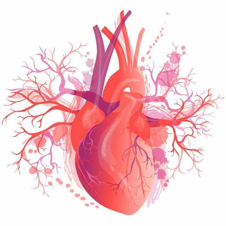 人体心脏器官组织解剖图和血管png图片免抠eps矢量素材