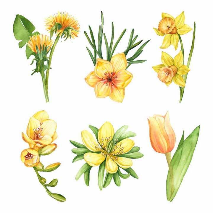 6款水彩画风格黄色花朵水仙花png图片免抠素材