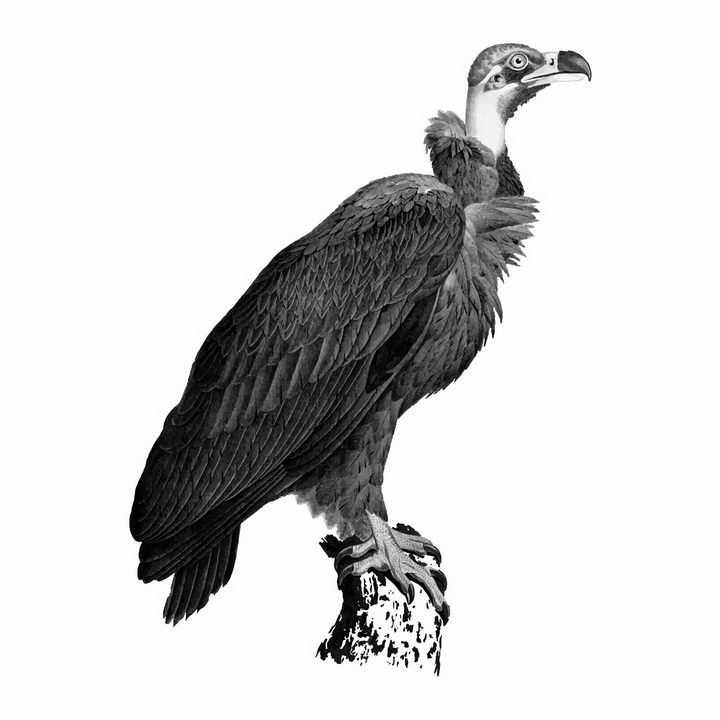 逼真的停在枝头上的秃鹫猛禽野生动物png图片免抠矢量素材