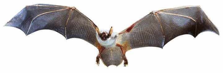 一只正在飞行中的蝙蝠野生动物png图片免抠素材