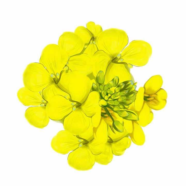 盛开的油菜花花朵png图片免抠素材