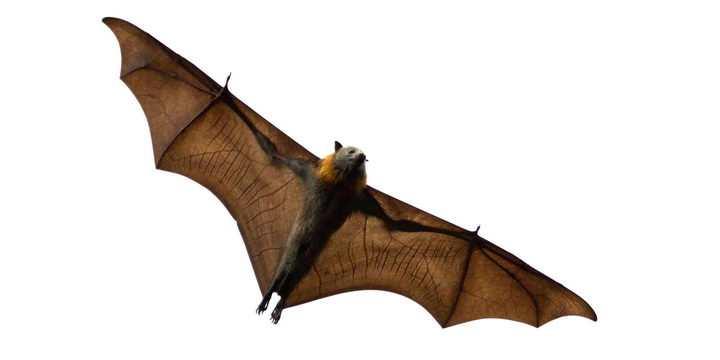 飞行中的蝙蝠狐蝠野生动物png图片免抠素材