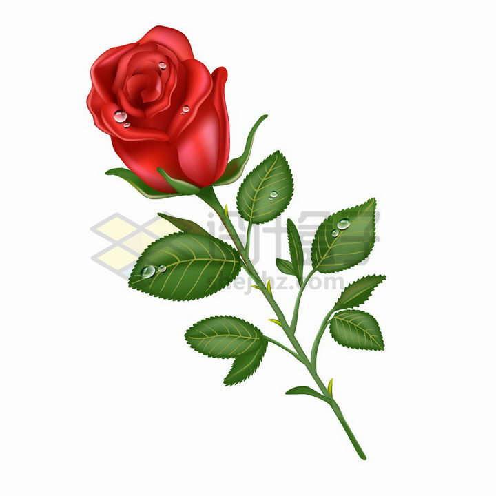 带水珠的红色玫瑰花和叶子png图片免抠矢量素材