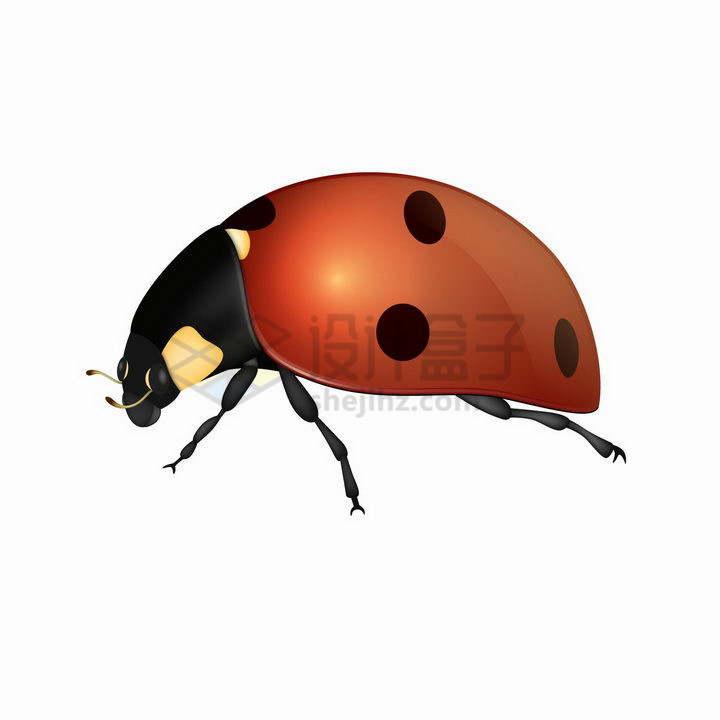 逼真的七星瓢虫甲壳虫昆虫侧视图png图片免抠矢量素材