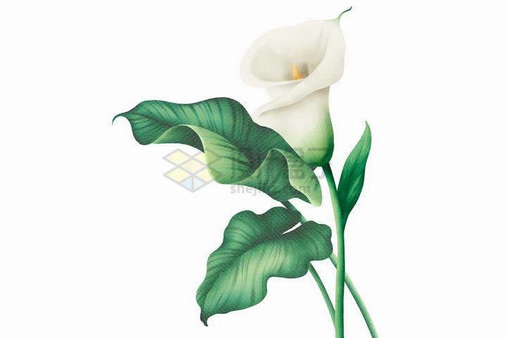 彩绘风格白百合花和绿叶png图片免抠矢量素材