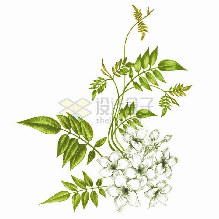 带绿叶子的茉莉花白色花朵彩绘插画png图片免抠矢量素材