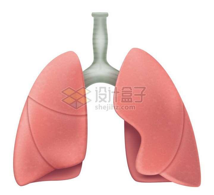彩绘风格肺部人体器官组织png图片免抠矢量素材