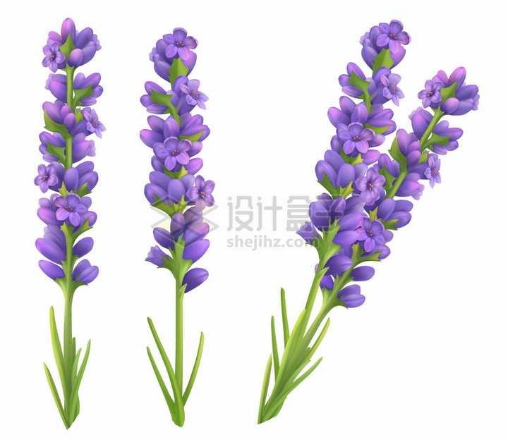 3D风格薰衣草的紫色花朵png图片素材