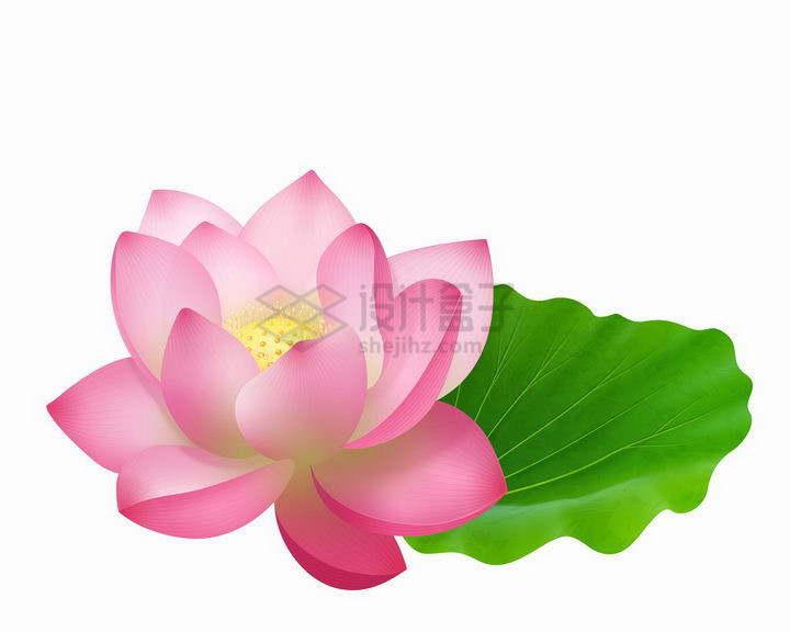 盛开的荷花莲花与荷叶png图片免抠矢量素材