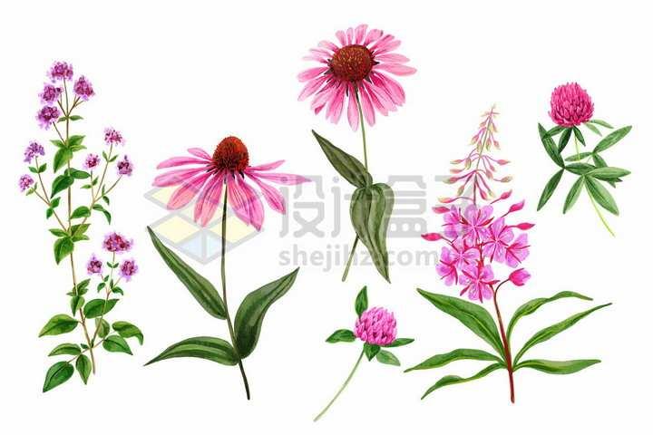 粉红色荷兰菊等野花鲜花花朵装饰彩绘插画png图片免抠矢量素材