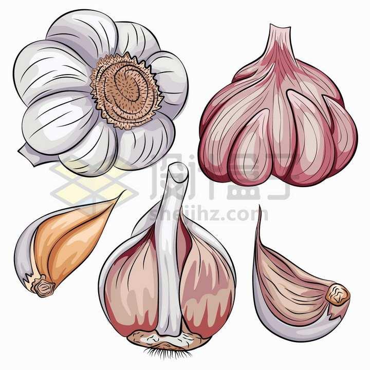 白皮紫皮大蒜头调味品彩绘插画png图片免抠矢量素材