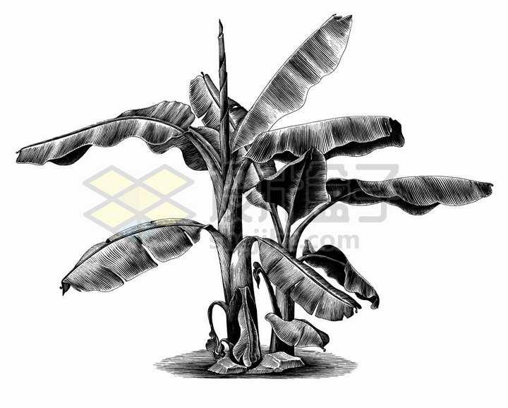 芭蕉树香蕉树手绘素描插画png图片免抠矢量素材