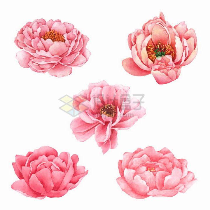5款水彩画风格粉红色的牡丹花玫瑰花鲜花png图片免抠矢量素材