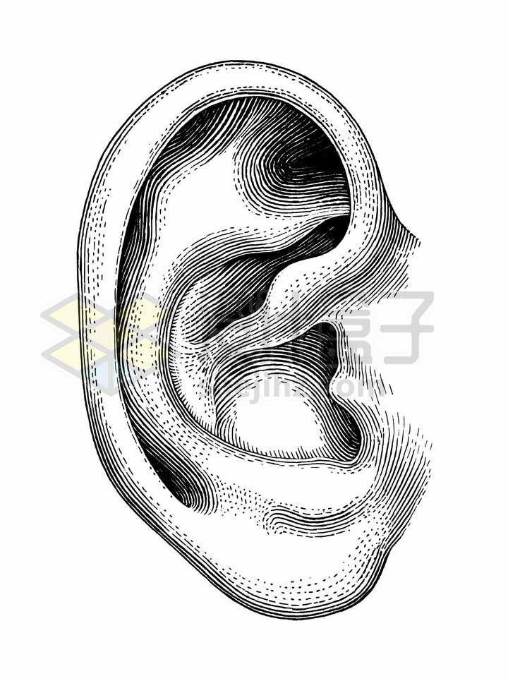 耳朵人体组织结构图手绘素描插画png图片免抠矢量素材