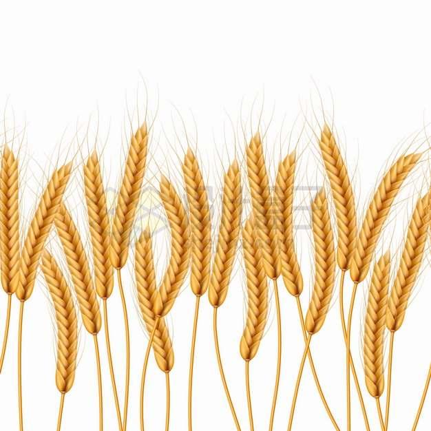 收获的小麦麦穗和秸秆png图片素材
