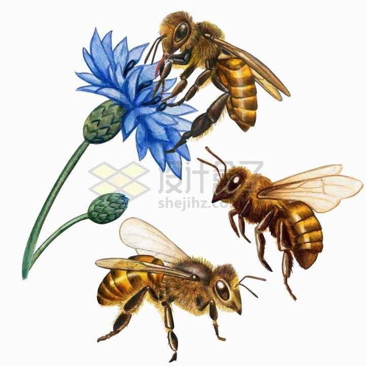 三种形态的蜜蜂和荷兰菊花朵鲜花水彩插画png图片免抠矢量素材
