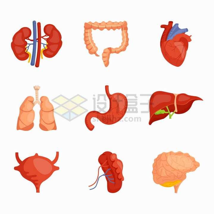 肾脏大肠心脏肺部胃部肝脏膀胱等人体器官组织png图片免抠矢量素材