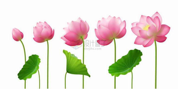 荷花莲花从花苞到完全盛开的过程png图片免抠矢量素材