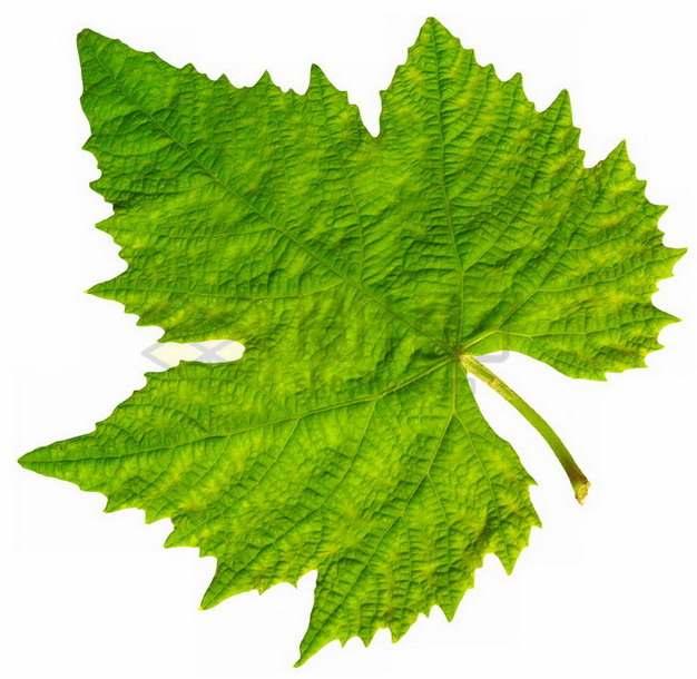 一张葡萄树叶子png图片素材