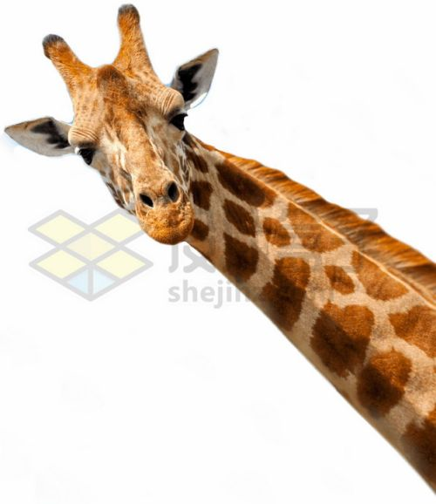 歪头看你的长颈鹿头部特写png图片素材