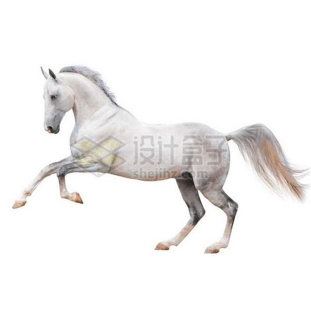 抬起前蹄的白色阿哈尔捷金马png免抠图片素材