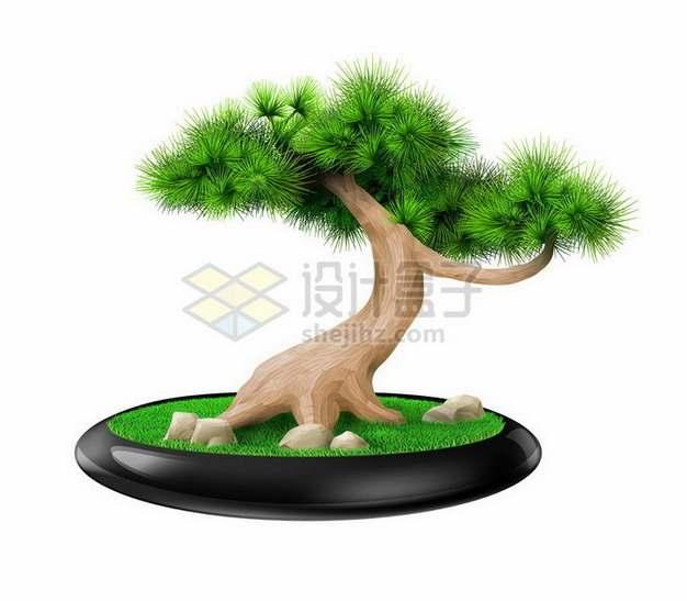 花盆中的松树盆栽植物png图片免抠矢量素材