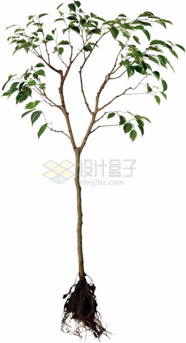 一棵连根拔起的树苗png免抠图片素材