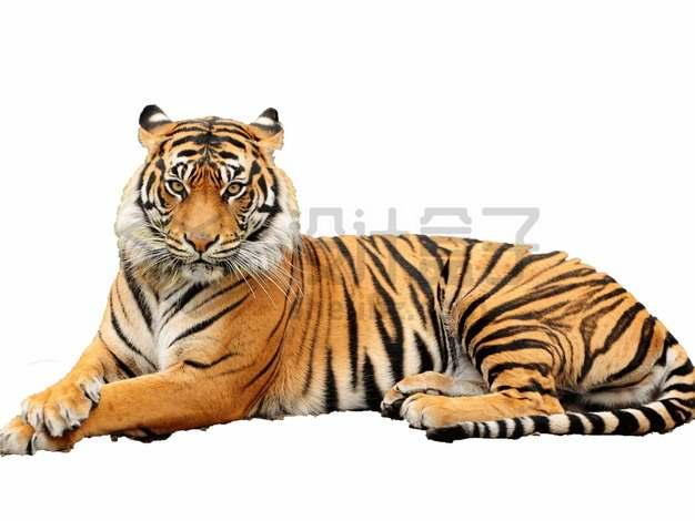 趴地上发呆的老虎东北虎png图片素材
