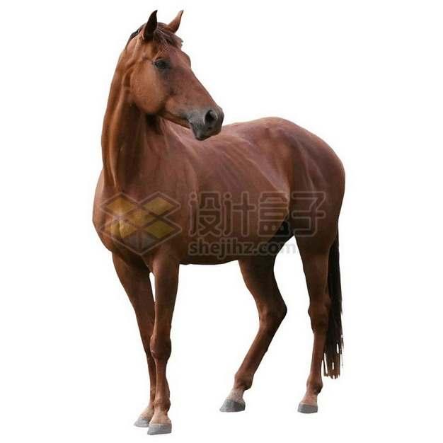 站立不动的棕色骏马png免抠图片素材