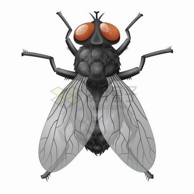 一只高清苍蝇小昆虫png图片免抠矢量素材 生物自然-第1张