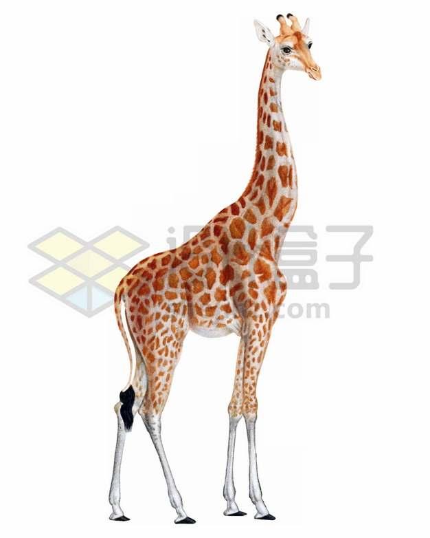 站着发呆的长颈鹿png图片素材