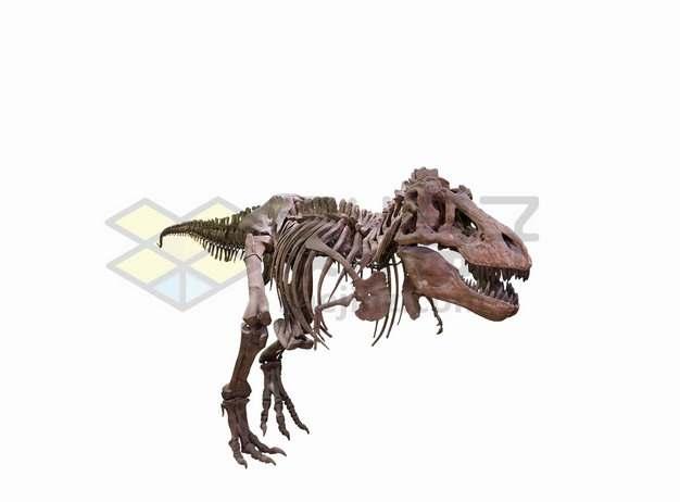霸王龙特暴龙等大型食肉恐龙化石骨架png图片免抠素材