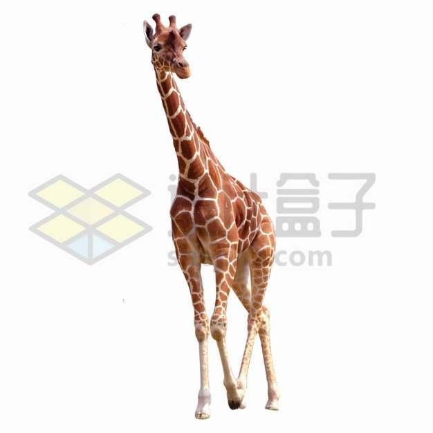 走路的长颈鹿png图片素材