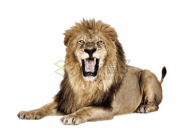 趴在地上怒吼的狮子非洲野生动物猛兽png图片素材