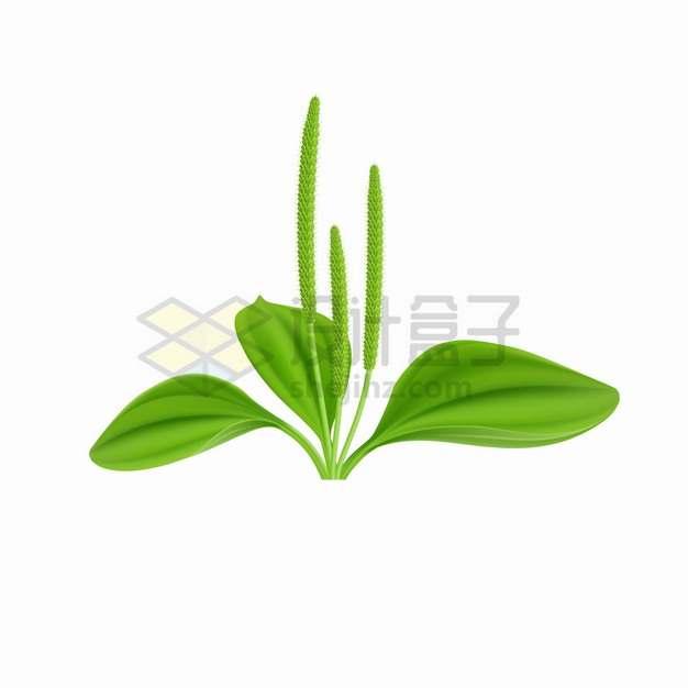 绿色的车前草叶子和平车前花朵png图片素材