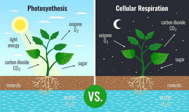 植物白天光合作用和晚上呼吸作用配图png图片免抠矢量素材 科学地理-第1张