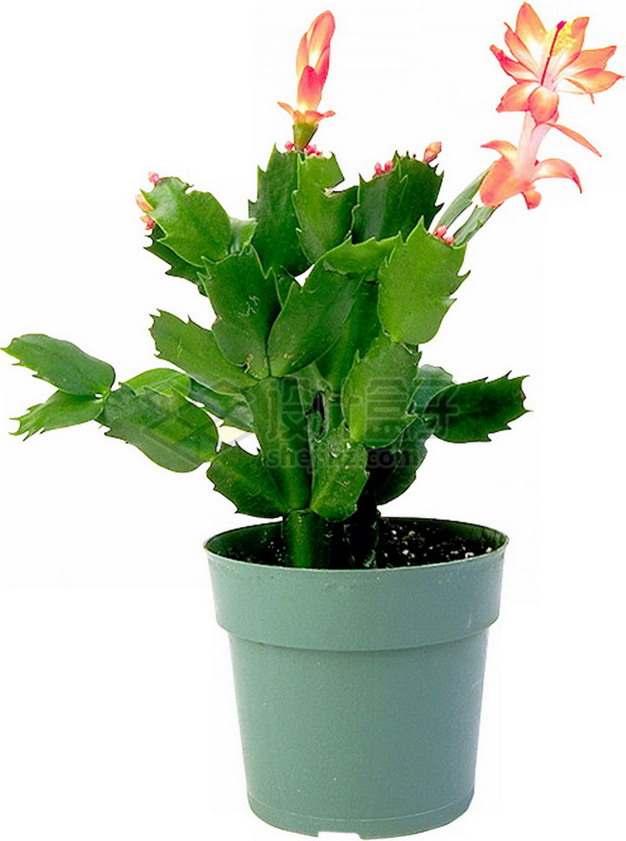 花盆里的粉色昙花png图片免抠素材