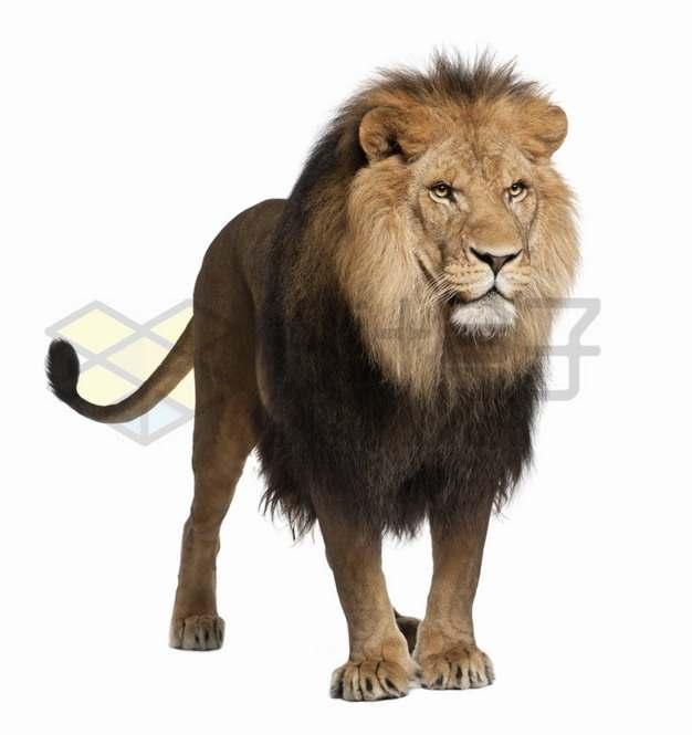 站着发呆的狮子非洲雄狮png图片素材