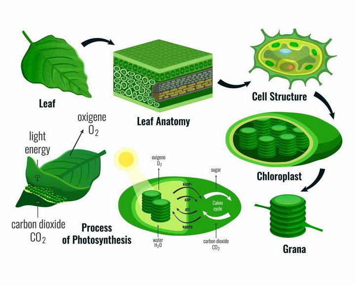 植物绿叶细胞和叶绿素的光合作用png图片免抠矢量素材 科学地理-第1张