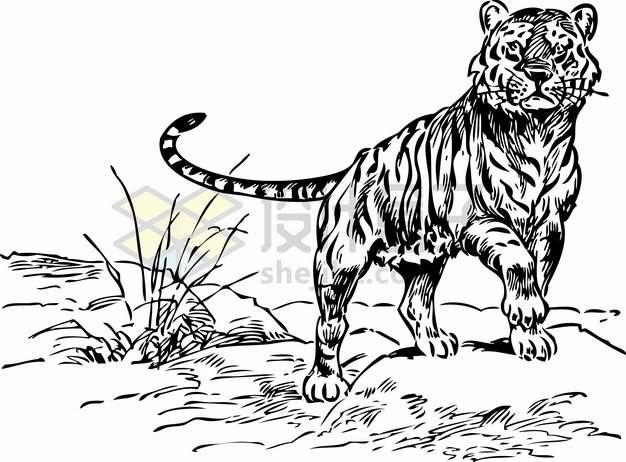 草地上张望的老虎里海虎手绘素描插画png图片素材