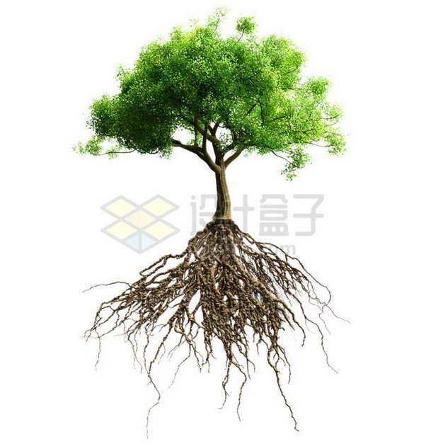 具有发达树根的绿树大树png免抠图片素材