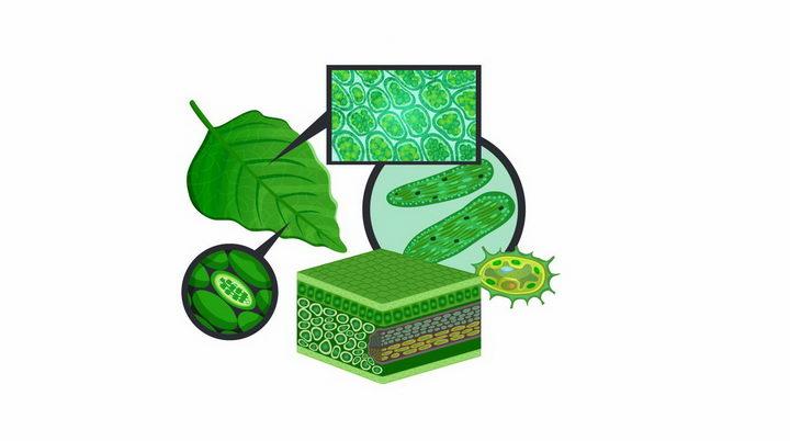 植物绿叶细胞放大结构图png图片免抠矢量素材 科学地理-第1张