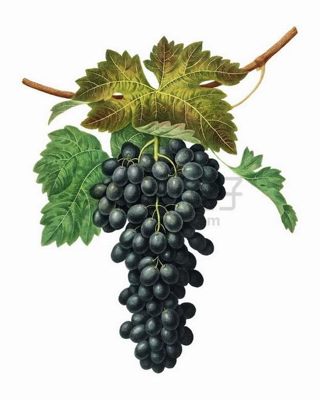 枝头上的夏黑葡萄png图片素材