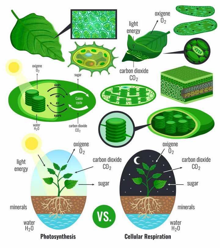 各种植物绿叶细胞叶绿素白天黑夜光合作用png图片免抠矢量素材