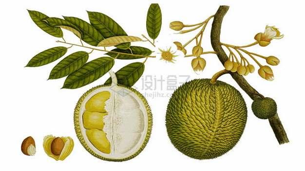 长在树上的越南干尧榴莲水果之王png图片素材