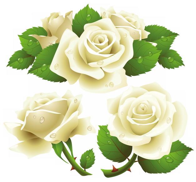 带水珠和绿叶的白玫瑰花鲜花946571png图片素材 生物自然-第1张