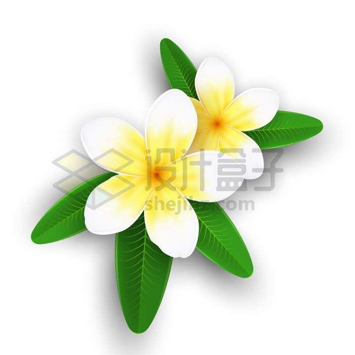 逼真的鸡蛋花带叶子的热带花卉png图片免抠矢量素材
