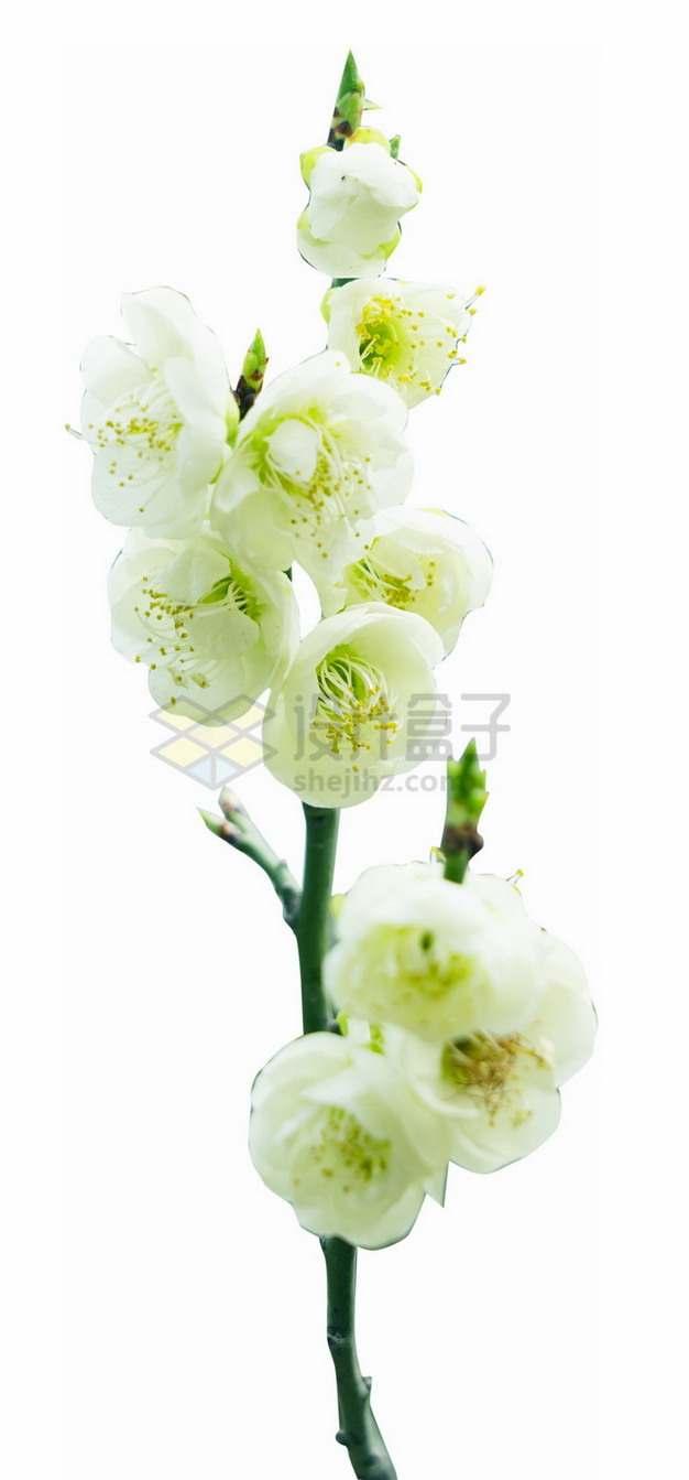枝头上的梨花杏花白色鲜花png免抠图片素材
