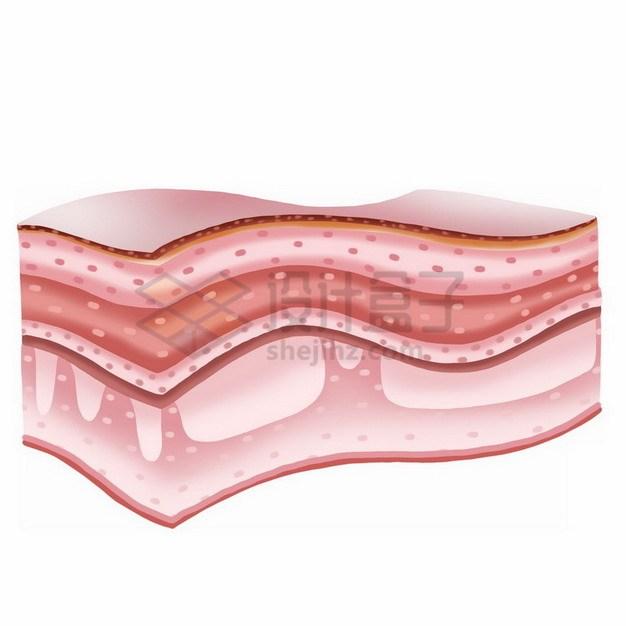 皮肤分层解剖图png免抠图片素材 健康医疗-第1张